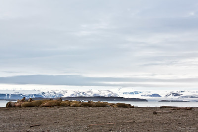 Valrossar vid Wahlbergøya
