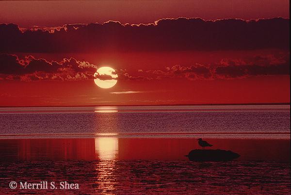 Brewster Gull Sunset