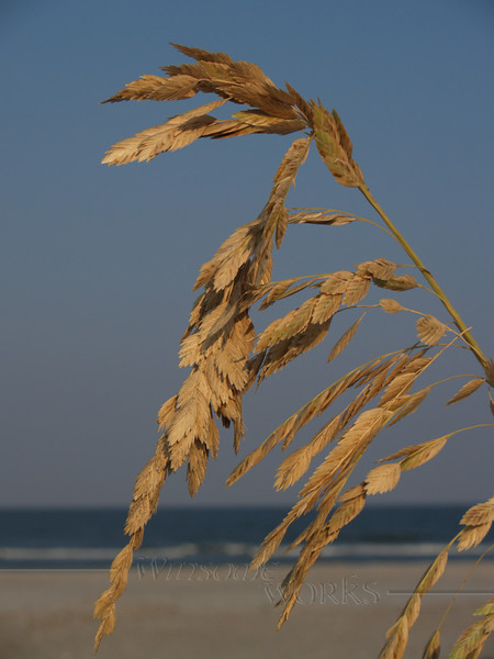 Sea Oats in Afternoon at Hunting Island SC