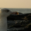 Seagull in morning - Ocean Grove, NJ