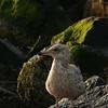 Seagull in morning - Ocean Grove, NJ -  8/08/2011
