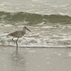 Willet  - Hunting Island S.P., SC