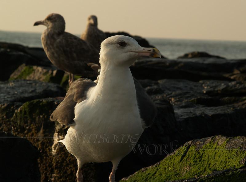 Seagull in morning - Ocean Grove, NJ