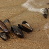 Mussel shells in Ocean Grove, NJ -  06/29/2010
