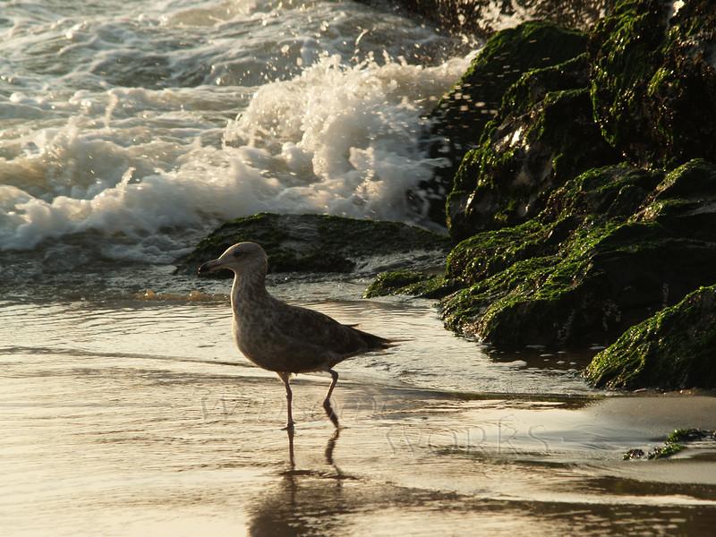 Immature seagull in morning -- Ocean Grove, NJ