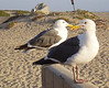 Seagulls at the Seashore.<br /> <br /> ASA 64, F/5.2, 1/200sec.