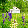 Lovely Lupines 3