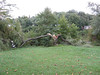 One of the two weeping willow trees along the shoreline near the Wilde Lake barn was split right in half by the hurricane.<br /> <br /> Wilde Lake Park, Columbia, Maryland<br /> <br /> 8-29-11