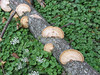 Shelf fungus on a log.<br /> <br /> 8-29-11