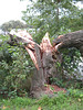 This was a single trunk before Hurricane Irene split it in two.<br /> <br /> Wilde Lake Park, Columbia, Maryland<br /> <br /> 8-29-11