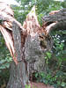 This was a single trunk before Hurricane Irene split it right in half. The willow looked sturdy, but was weak inside.<br /> <br /> Wilde Lake Park, Columbia, Maryland<br /> <br /> 8-29-11