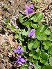 Spring violets, Patapsco Valley State Park near Marriottsville Road<br /> <br /> 4-21-07