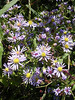 A profusion of purple asters.<br /> <br /> 10-8-06