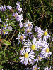 The aster's petals are curled like package ribbon while they're unfolding.<br /> <br /> 10-8-06