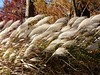 Grass seedheads blowing like flags in the wind. <br>11-7-04