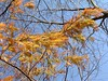 A branch of the Dawn Redwood, shining gold in the sun. <br>11-7-04
