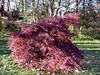 A glorious deep red Japanese maple. <br>11-7-04