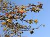 Sweetgum  <i>(Liquidambar styraciflua)</i> branch. <br>11-7-04