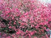 Winged euonymus <i>(Euonymus alatus)</i> turns bright candy pink in the fall. <br>11-2-04