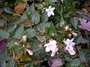 Glossy Abelia <i>(Abelia x grandiflora)</i> is still flowering near the end of November. <br>11-20-04