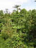 Giant plant with huge leaves growing at the edge of a brushy area.<br /> <br /> 9-23-06