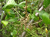 Poison ivy berries - Do Not Eat!<br /> <br /> 9-23-06