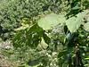 Huge leaves on giant plant<br /> 9-23-06