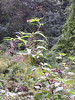Pokeweed<br /> <br /> 9-23-06