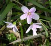 "It doesn't really feel like spring until the aptly-named <a href=""http://www.vnps.org/claytonia.html"" target=""_blank"">spring beauty</a> (<i>Claytonia virginica</i>) blossoms. 4-10-04"