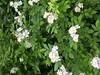 This wall of flowering vines is multiflora rose. <br>5-17-04