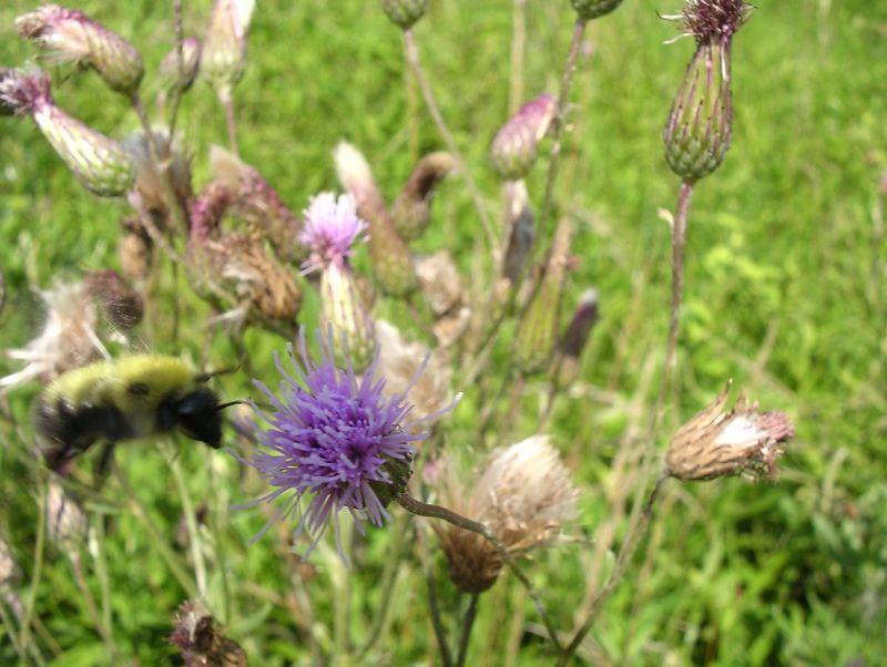 A thistle bloom attracts a bee. <br>7-12-04