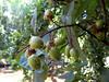 Royal Paulownia or Princess Tree (<i>Paulownia tomentosa</i>) fruits.  Patapsco Valley State Park.   7-24-07