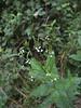 White Vervain (<i>Verbena urticifolia</i>)  Patapsco Valley State Park.   7-24-07