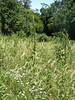 Tall mullein with yellow flowers and white yarrow<br /> <br /> Middle Patuxent Environmental Area<br /> 8-18-07