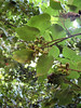 "Royal Paulownia or Princess Tree (<i>Paulownia tomentosa</i>). Although a lovely tree, it is not native and <a href=""http://www.mdinvasivesp.org/archived_invaders/archived_invaders_2007_05.html"">it is highly invasive</a>.   Patapsco Valley State Park.   7-24-07"