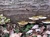Polypore fungus  <br>1-3-05