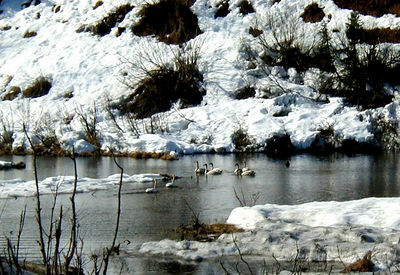 At the foot of Thompson Pass, near Lowe River, swans rest in a small roadside pond while awaiting open water in their nesting areas farther north.