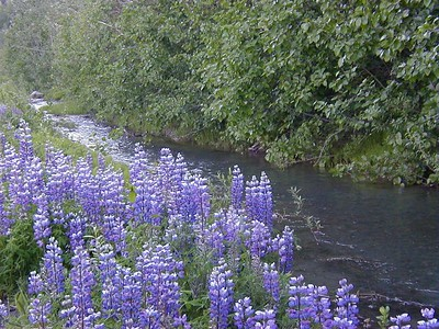 Lupine growing thick along a roadside stream on the Richardson Hwy. in Thompson Pass.