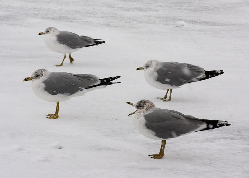 Talking seagull in winter
