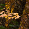 Fall-0963<br /> A Few rays from the sun penetrate the canopy, illuminating these maple leaves.