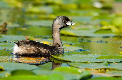 Seattle Arboretum Wetlands Pied-billed Grebe