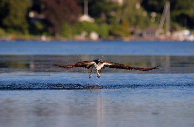 Seattle Arboretum Wetlands Osprey