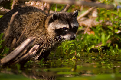Seattle Arboretum Wetlands Raccoon