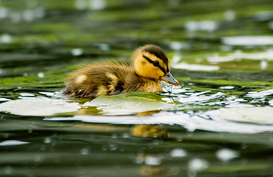 Seattle Arboretum Wetlands mallard duckling