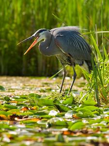 Seattle Arboretum Wetlands Great Blue Heron