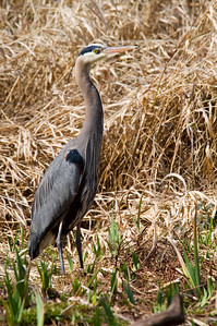 Seattle Arboretum Wetlands Great Blue Heron