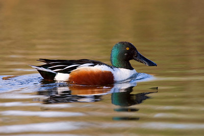 Seattle Arboretum Wetlands Shoveler