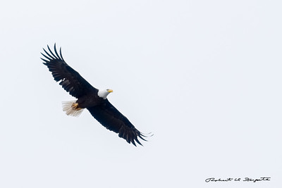 Soaring eagles are just simply magnificent.