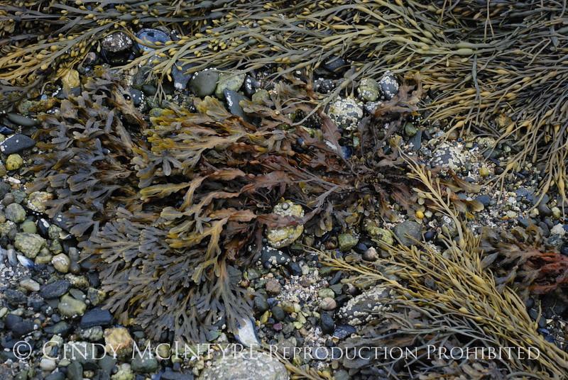 Rockweed, Maine (3)