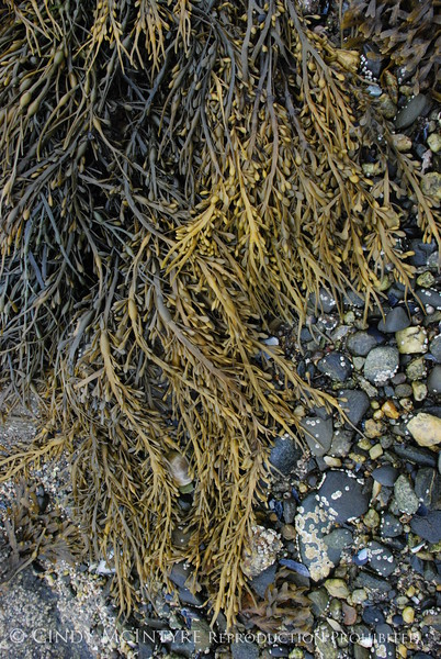 Rockweed, Maine (6)